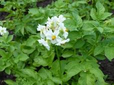 Защита картофеля от фитофтороза и альтернариоза от компании «Сингента»