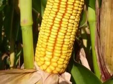 Гибриды кукурузы АРТЕЗИАН