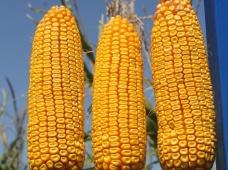 СИ Ариосо - новый гибрид кукурузы для интенсивного земледелия POWERGRAIN от компании «Сингента»