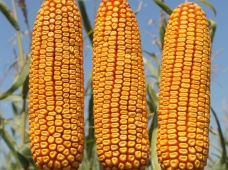 СИ Феномен — эффективно использующий влагу гибрид кукурузы